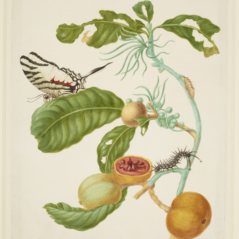 A watercolour of a branch of Duroia eriopila with a Zebra Swallowtail Butterfly (Eurytides proesilaus) and the larva and pupa of the Melantho Tigerwing Butterfly (Xanthocleis psidii). This is an adaptation of plate 43 of Merian's Metamorphosis Insect