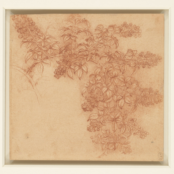 In this beautifully rendered drawing of a bramble, the branches are shown sagging under the weight of the fruit: Leonardo was interested not merely in the shape of the leaves and berries, but also in the living form of plants when subject to the natural f