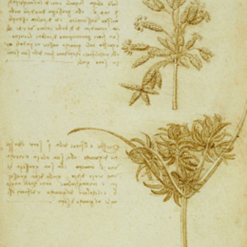 Drawing and notes showing two seed heads from rushes