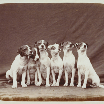 Photograph of some of Queen Victoria's pet dogs, all small terriers. They are sitting in a line with a cloth draped behind. The dogs are Wat, Dot, Teazer, Slip, Fly and Nip. Details about their paternity are recorded in the album.