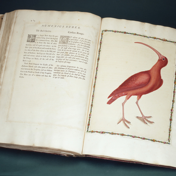 In the early eighteenth century the English naturalist Mark Catesby made two extended expeditions to the British colonies on the eastern seaboard of North America in order to document the indigenous flora and fauna. His resulting work, the first on its su