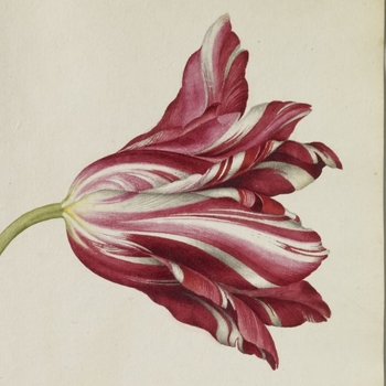 Detail from a page of watercolours of three Tulips including an Agatte Robin Tulip, a Penelope Tulip and a Yellow Crown Tulip by artist Alexander Marshal