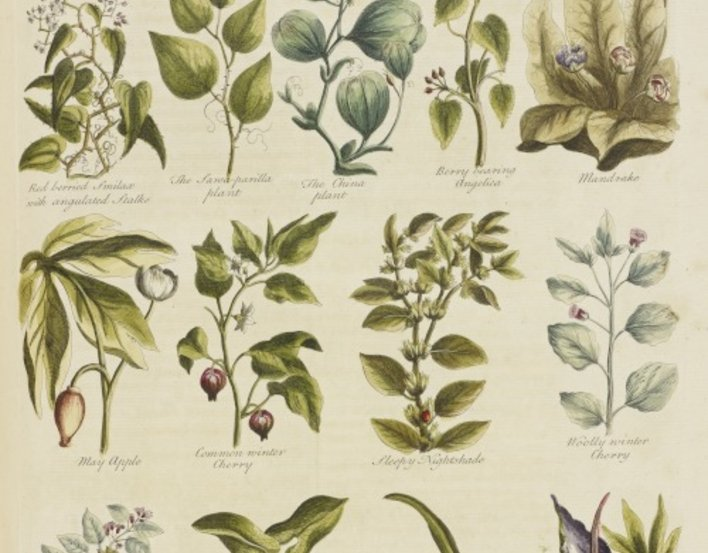 Detail of an illustration showing various garden herbs, from the book by John Hill 'The British herbal: an history of plants and trees, natives of Britain, cultivated for use or raised for beauty' (RCIN 1052134)