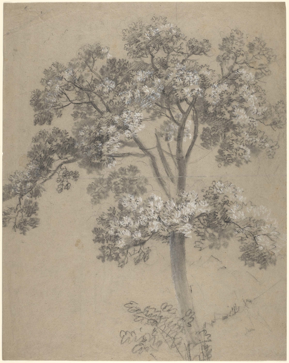 A drawing of a tree, possibly a young sycamore, worked in black and white chalk and stump. Drying fold at centre of sheet. Probably a drawing made in front of the motif. This drawing is one of 25 landscape drawings in the Royal Collection that were firml