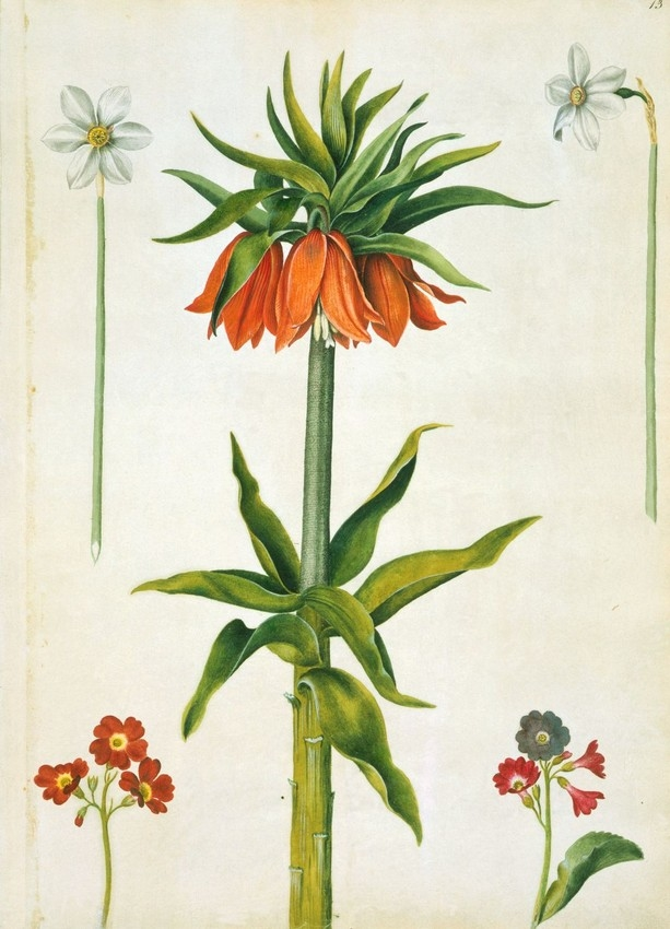 A watercolour of a narcissus radiiflorus, narcissus poeticus, fritillaria imperialis and two primula x pubescens by artist Alexander Marshal