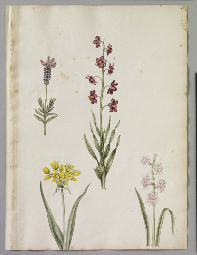 A watercolour illustration of a yellow garlic - Molly Broad leaf, a Fritillary - a Persian Lilly, and Tufted Lavender