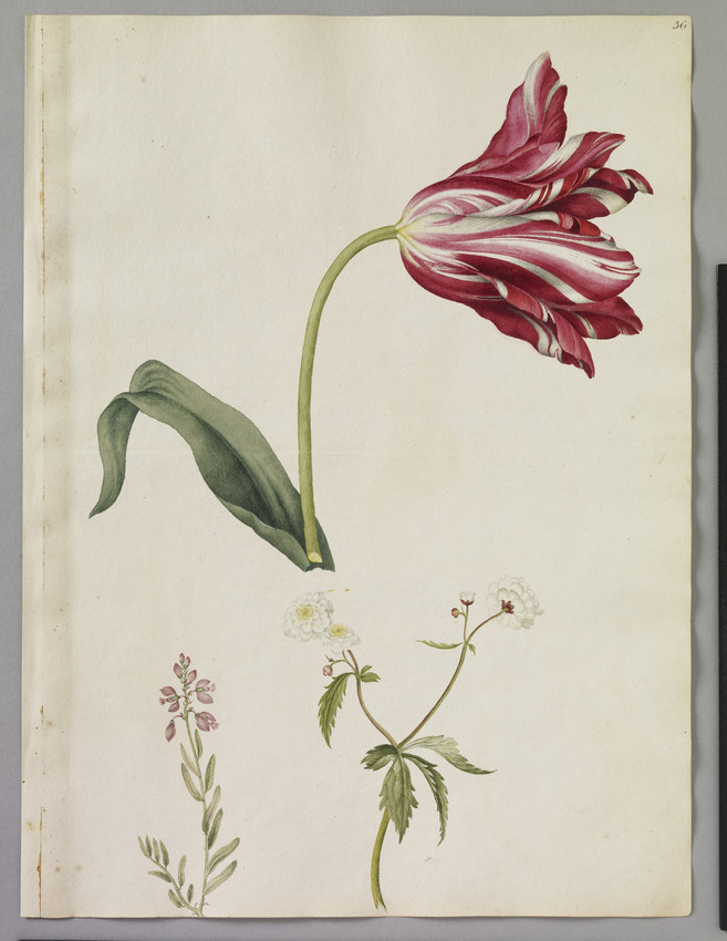 A watercolour of three flowering plants, including a white buttercup Ranunculus aconitifolius, a purple milkwort and a striped tulip by artist Alexander Marshal.