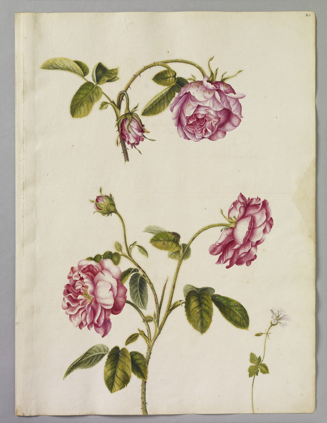 Watercolour illustrations of pink roses