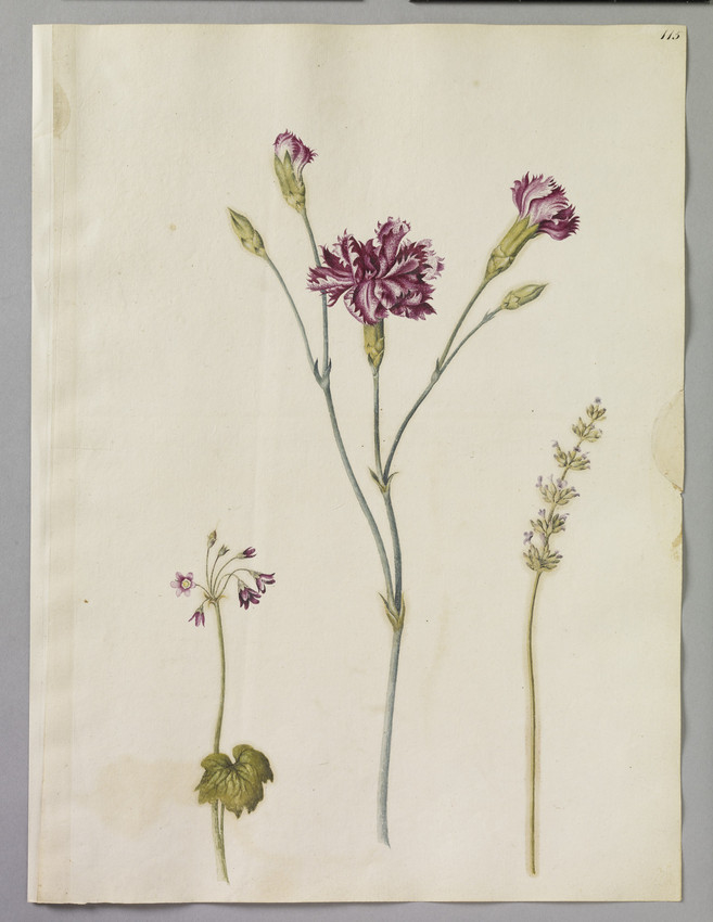 Watercolour illustration of a speckled Carnation, a piece of Lavender and a Sanicle