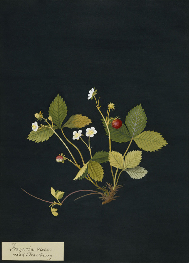 Illustration of a wood strawberry on a black background