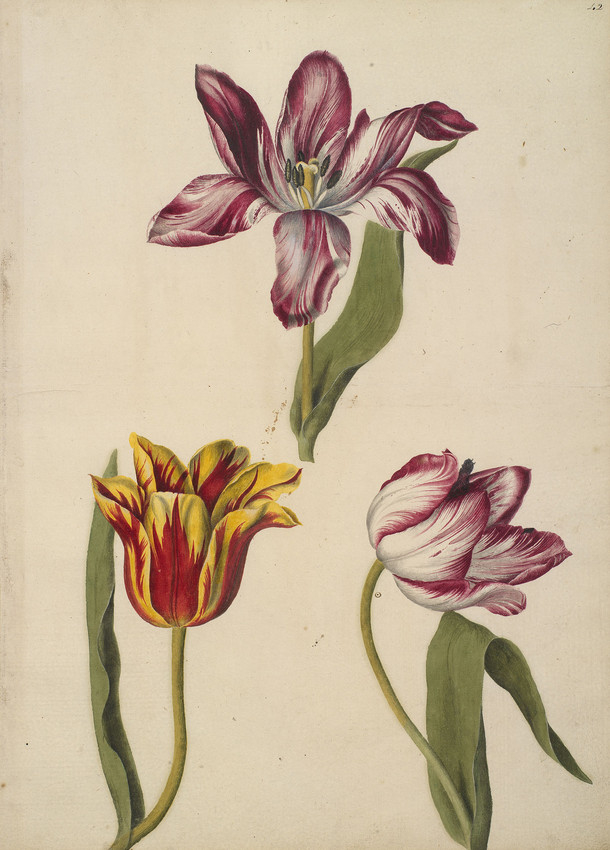 A page of watercolours of three Tulips including an Agatte Robin Tulip, a Penelope Tulip and a Yellow Crown Tulip by artist Alexander Marshal